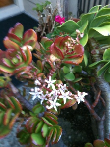 Jade plant in flower, Carmel Mission Inn, Carmel-by-the-Sea, CA, December 2011.