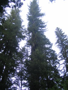 August 15, 2013 - Humboldt County, Redwoods in the wild!